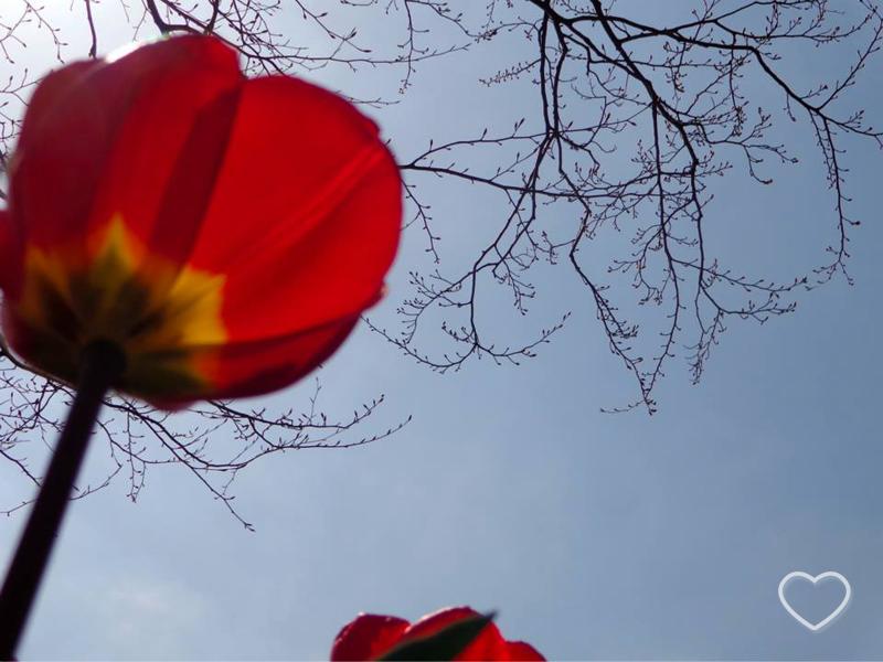 Uma tulipa vermelha fotografada de baixo.
