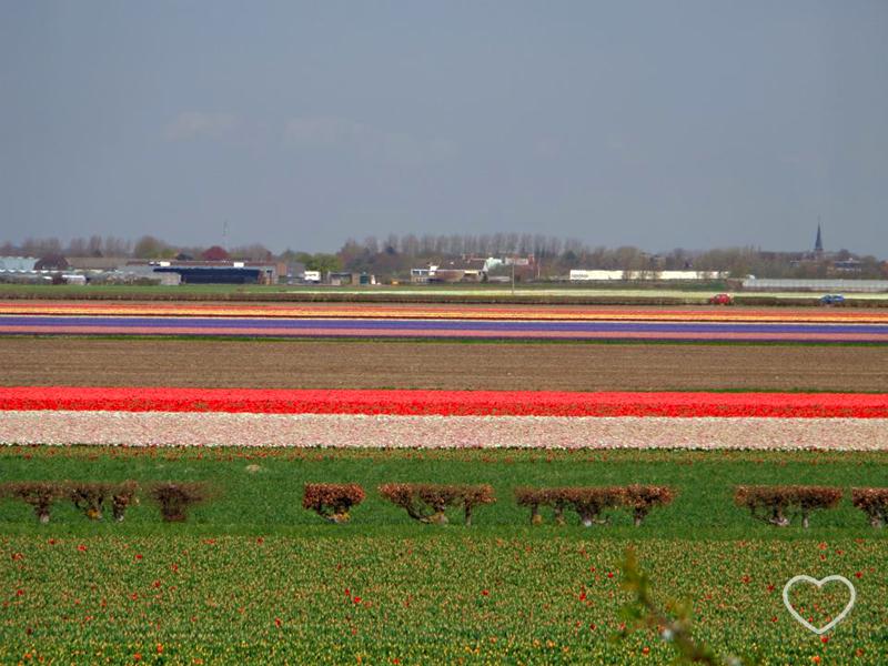 Faixas coloridas no horizonte. São imensos campos de tulipas, cada faixa de uma cor.