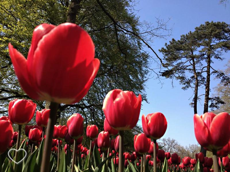 Foto de um canteiro de tulipas vermelhas.