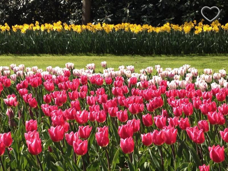 Foto de um canteiro com tulipas rosa e brancas e umas amarelas ao fundo.
