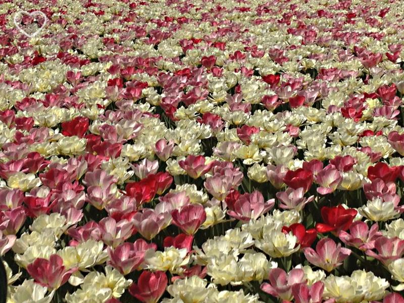 Foto de canteiro de de flores vermelhas, rosa e brancas misturadas.