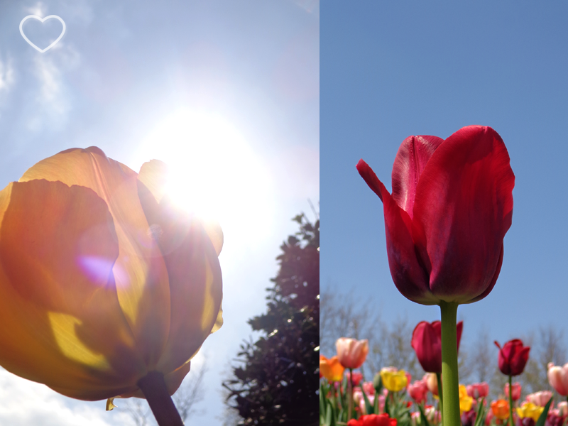 Duas fotos juntas, de uma tulipa amarela e outra vermelha, vistas de baixo.