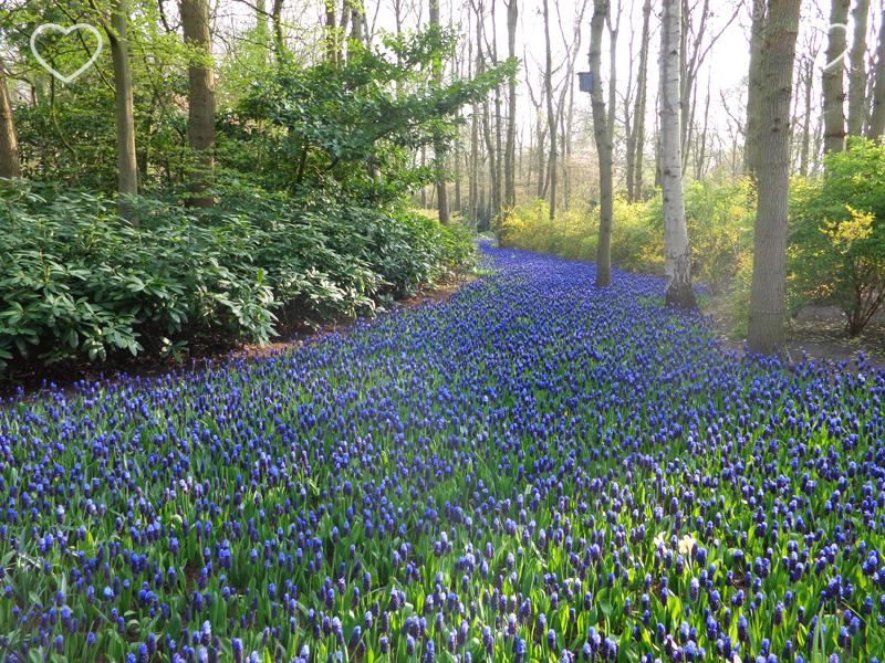 Foto de um canteiro de flores azuis, chamadas jacintos, em forma de rio.