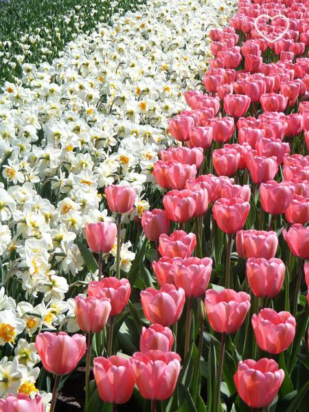 Foto de um canteiro de tulipas rosa e umas outras flores brancas.