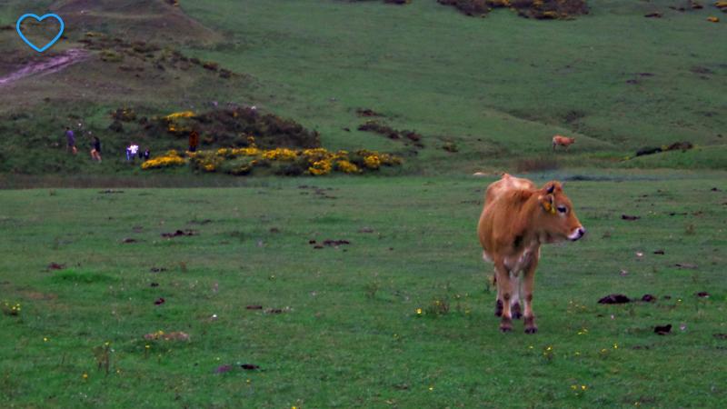 Foto de uma vaca e flores amarelas ao fundo.