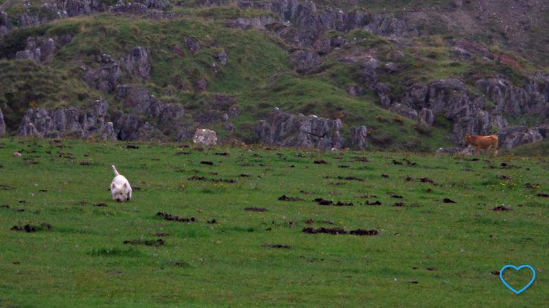 Foto de um cachorro branco no pasto e uma vaca ao fundo.