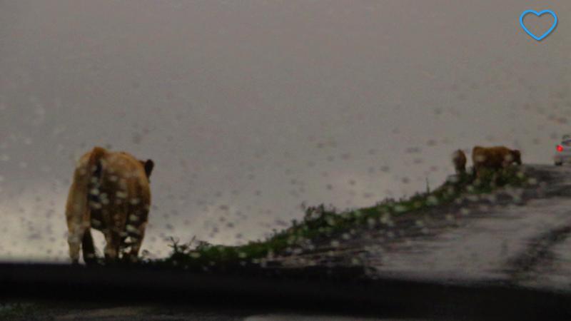 Foto tirada dedentro do carro. Há pingos de chuva no vidro e vacas pela estrada.