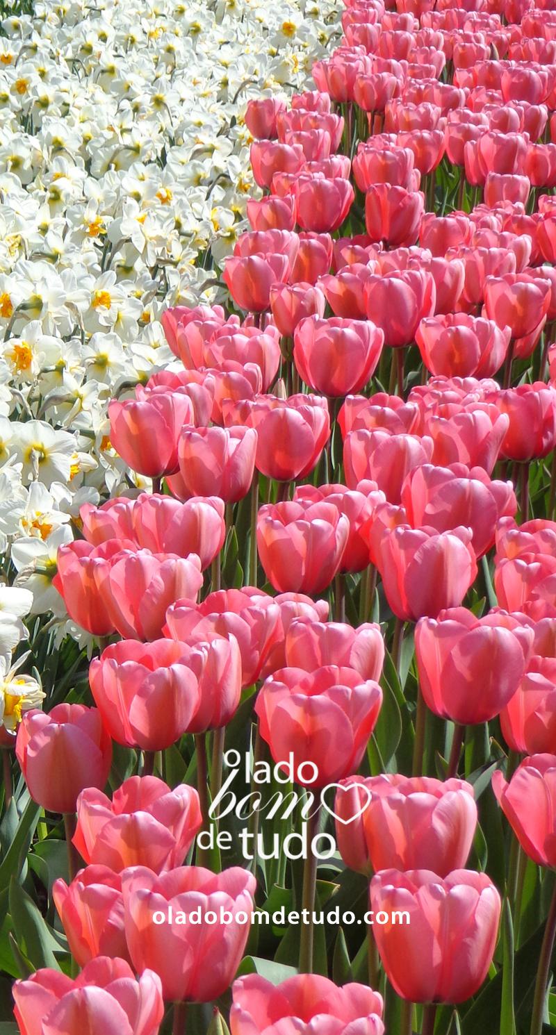 Lindas tulipas rosa. E outras flores de bulbo brancas.