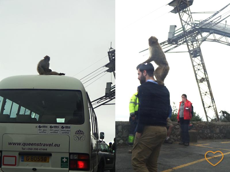 Fotos de macacos. Um em cima de um turista e o outro em cima de um micro-ônibus.