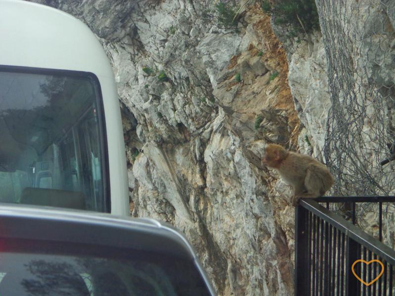 Foto de um macaco filhote querendo saltar em cima de um carro.
