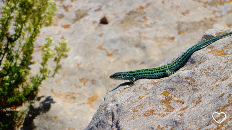 Um lagarto pequeno e verde, de perfil, sobre uma pedra.