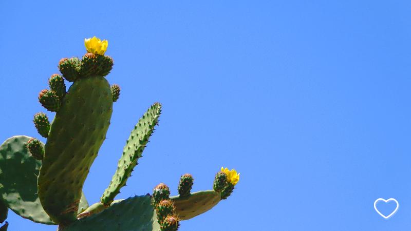 Cacto florido em primeiro plano e céu azul ao fundo.