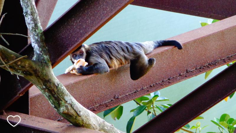 O macaco, já com o cachorro-quente, deitado de bruços em uma viga ao longe. Mas a foto é em close.