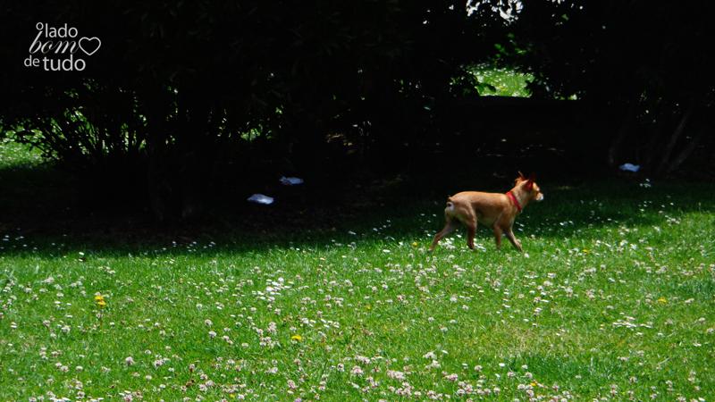 Num gramado, um chihuahua corre.
