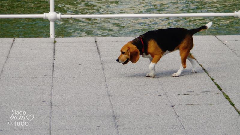 Um beagle caminha na calçada que contorna o rio, na cidade.