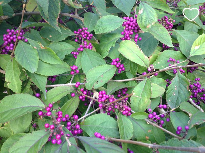 Um arbusto cheio de frutinhas lilás.